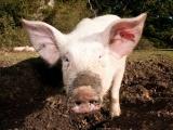 Свинья подожгла ферму в Великобритании