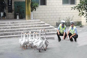 Полиция Китая использует гусей для борьбы с преступностью
