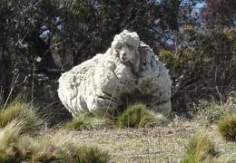 В Австралии с заблудшей овцы состригли 40 кг шерсти