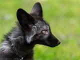 Фото чернобурых лис