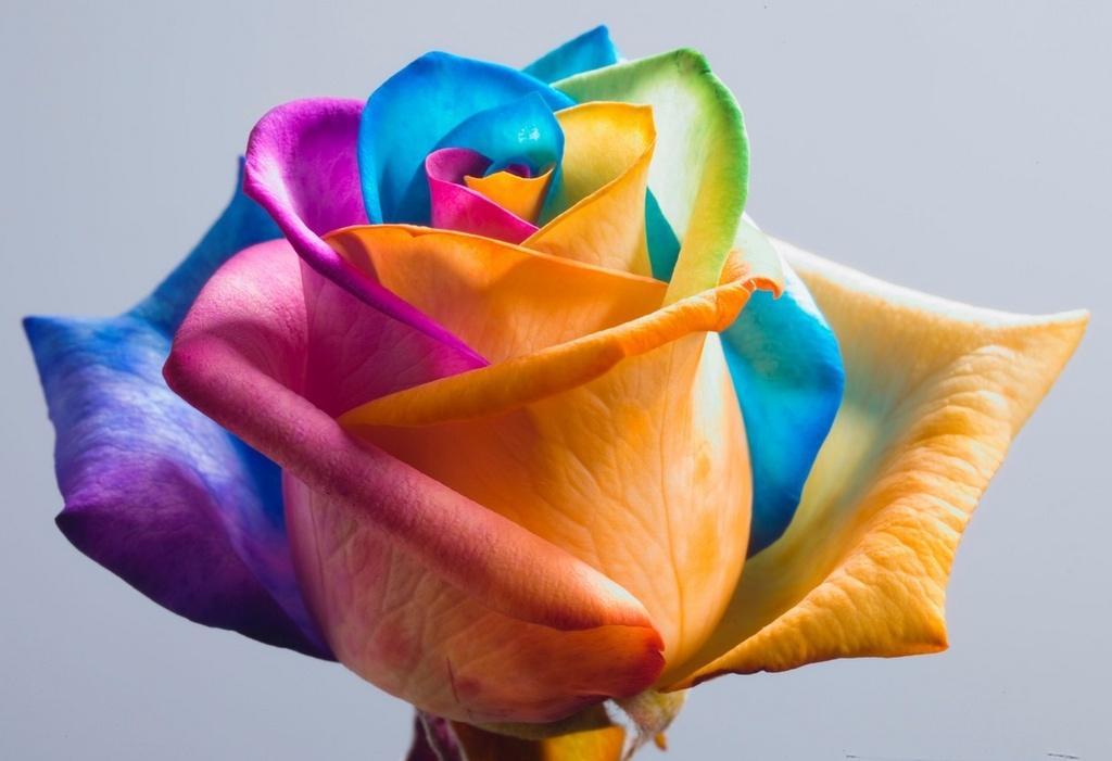 Роза плетистая голубая луна 3